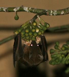 Greater_short-nosed_fruit_bat_(Cynopterus_sphinx)_feeding_on_Kapok_(Ceiba_pentandra)_at_night_in_Kolkata_W_IMG_3877