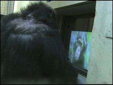 _47159185_chimpcam4