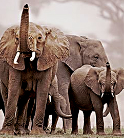 ElephantHerd-242x270-r=72