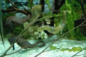 seahorses12