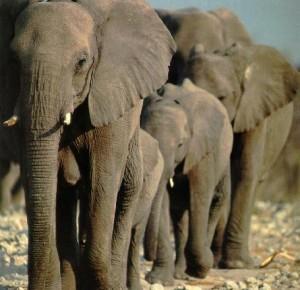 afwld016-SouthAfricanElephants-Herd-Moving