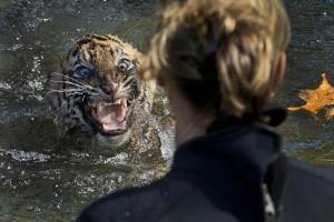 AP10ThingsToSee National Zoo Tiger Cubs
