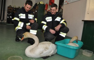 11.02.20 Cigni morti nel lago di Ferlach schwan726arbeiter