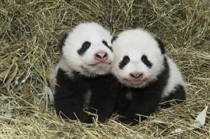 17.03.15 Vienna,Tiergarten (Giardino zoologico), gemelli panda nati 2016
