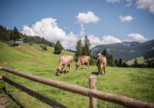 20.09.26 Alpeggio Vorarlberg, vacche
