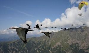 21.08.31 Ibis eremiti in volo per Bressanone