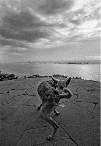 """Benares, India, 1972. """"Sui ghat poco dopo l'alba. Un cane si morde la coda dentro una struttura del pavimento che fa eco alla spirale del suo avvitarsi. Lo vedo e scatto, per istinto. Nel mio foglio di provini ci sono due fotogrammi: il primo, orizzontale, in cui ho reagito al fatto; il secondo, verticale, in cui il fatto è risolto formalmente. Questo è il tipo di """"azzardo obiettivo"""" , molto raro, che da quasi mezzo secolo inseguo facendo fotografie.  Una folgorazione ragionata in tempo reale""""."""