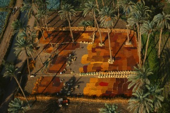 Essiccazione di datteri, palmeto a sud del Cairo © Yann Arthus-Bertrand, g.c.