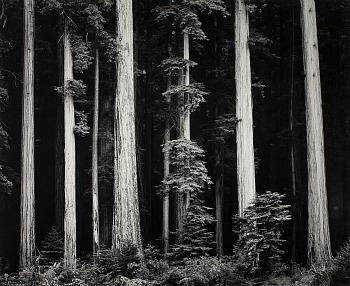 Ansel Adams Redwoods, Bull Creek Flat, Northern California, 1960 ca.,  © 2012 The Ansel Adams Publishing Rights Trust, g.c. Collezione Fondazione Cassa di Risparmio di Modena