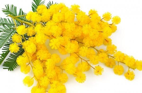 8marzo-festadelladonna-mimosa-640x420