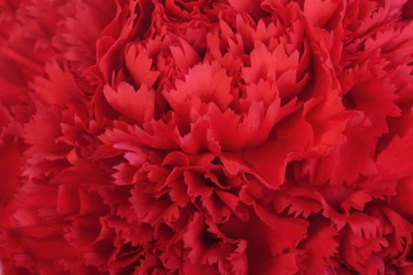 Red flowe carnation texture