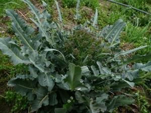 broccoloSITO