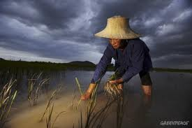 Una risaia thailandese. Foto Greenpeace