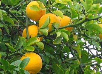 """Frutti di Poncirus trifoliata - dal sito """"www.rosebacche.it"""""""