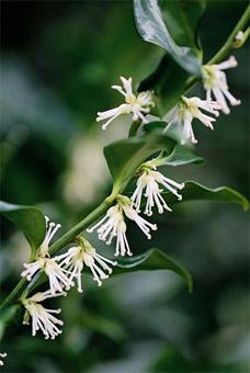"""Fiore di Sarcococca - dal sito """"www.giardinaggio.lavorincasa.it"""""""