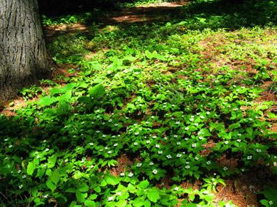 "Cornus canadensis - dal sito ""www.freetiiupixflwrs.cwahi.net"""