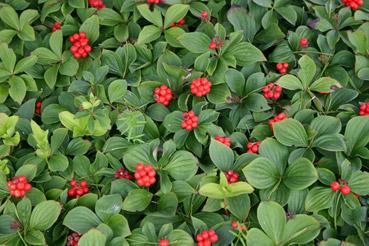 """Bacche di Cornus canadensis - dal sito """"riqualificazioneurbana.com"""""""