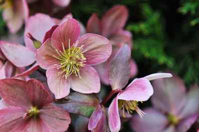 "Helleborus x ericsmithii ""Moonbeam"" - da ""plantsforshade.co.uk"""