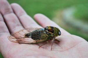 cicada-up-close