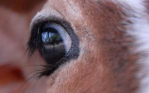 occhio_mucca