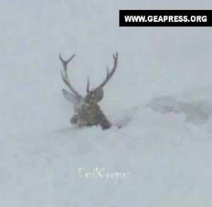 Il cervo nella neve