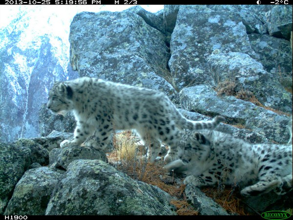 leopardo_nevi