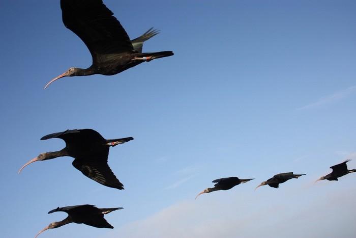 La rotta ha una lunghezza di circa 800 km. Potrà essere superata in tre o quattro tappe. Gli uccelli dovrebbero attraversare le Alpi già il primo giorno della migrazione. La data prevista (dipendente dal tempo) per la partenza è il 20 agosto 2014. La durata prevista del volo è 1-2 settimane.