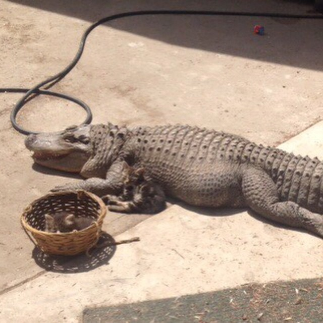 Animal-control-officers-found-this-8-foot-alligator-living-in-a-Los-Angeles-backyard.-Pictured-here-