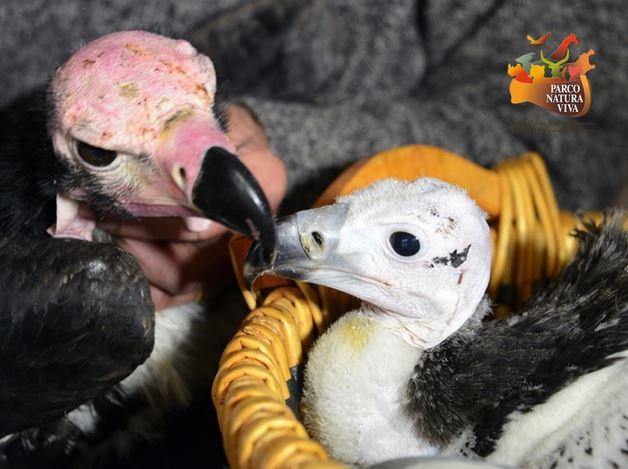 Un pullo di avvoltoio indiano nato a Bussolengo nel 2013