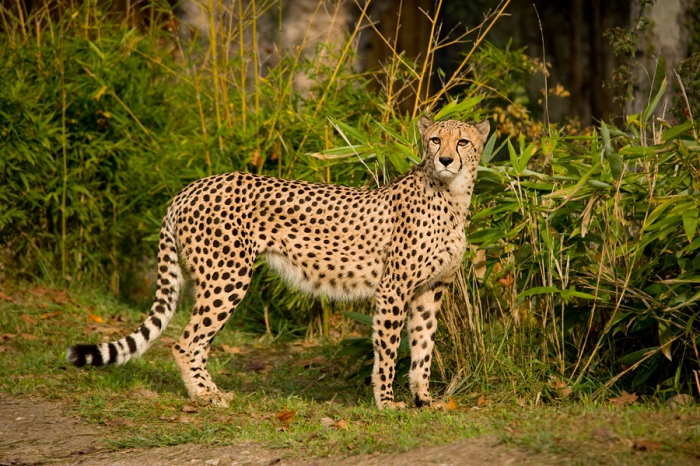 ghepardo