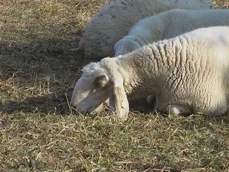 pecoreMarco5