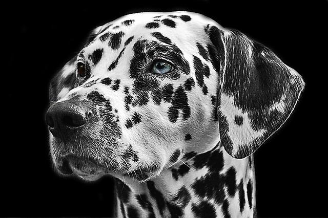 dalmatians-765138_640