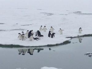 Giorno 64 - pinguini di Adelia che giocano sull'iceberg