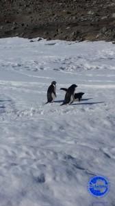Pinguini in tethys Bay 2(generica)