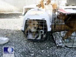 50 cani e gatti, sequestrati dalle guardie zoofile Oipa di Caserta, viaggiavano verso Nord stipati in un furgone
