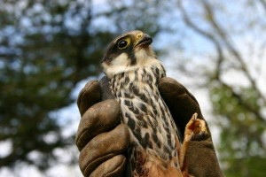 CABS-Committee against bird slaughter