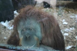 Da anni nella teca al chiuso: gli oranghi del Bioparco di Roma