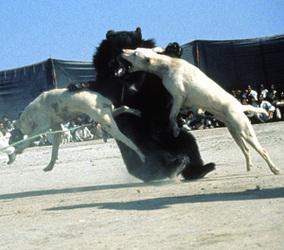 Bear baiting in Pakistan