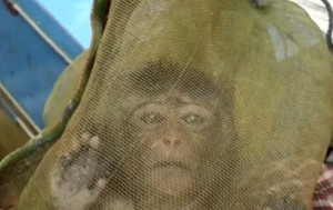 Una femmina di macaco catturata in Cambogia per essere venduta alla vivisezione