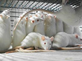 Gli ultimi è un rifugio-progetto per salvare e riabilitare roditori sopravvissuti alla vivisezione. www.gliultimi.org