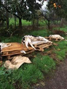 Corpi di vitelli rinvenuti assieme ad altri resti nella cascina di Nuvolara