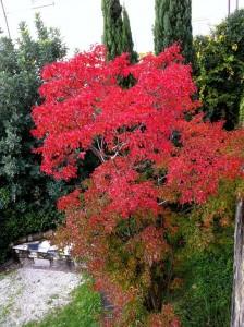 Sommacco o Albero della Nebbia negli Orti del Parnaso, Giardino dell'Orticoltura, Firenze