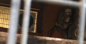Spaventata, una femmina di macaco prigioniera presso i laboratori di sperimentazione dell'Università di Modena e Reggio Emilia stringe a sé il suo cucciolo