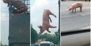 In Cina si lancia giù dal camion ma viene riconsegnato al mattatoio