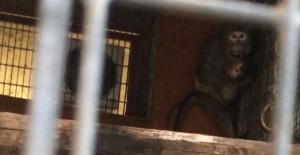 Una femmina di macaco con il suo piccolo, molto spaventata, in una gabbia dello stabulario dell'Università di Modena e Reggio Emilia