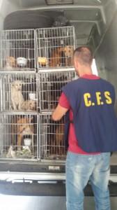A Sesto Fiorentino il Cfs ha bloccato una staffetta proveniente dalla Sicilia. Sequestrati 50 cani e denunciata per maltrattamento la responsabile del trasporto