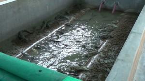Cuccioli di coccodrillo vengono detenuti in vasche luride, poi scannati con metodi dolorosi e violenti: chi ama gli animali dica no a borse, scarpe e accessori di pelle