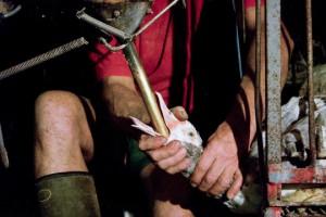 Nelle ultime due settimane di vita anatre e oche destinate alla produzione di foie gras sono alimentate a forza con un tubo metallico di 30 cm che penetra direttamente nel loro stomaco: molte muoiono di emorragia interna, infarto o soffocamento prima ancora di raggiungere il macello.