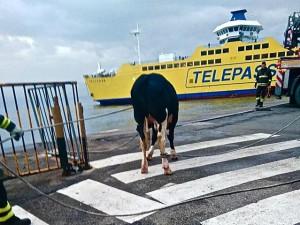 La sua destinazione ultima era il macello: Scilla ha cercato un destino migliore tuffandosi nello Stretto di Messina e per lui si invoca la salvezza
