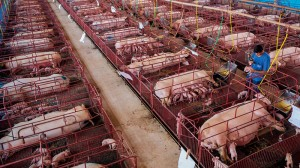 Un allevamento intensivo di maiali. (Immagine del National Geographic)
